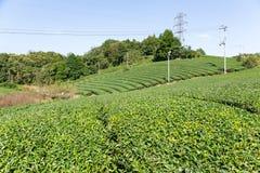 Campo del tè verde Fotografia Stock Libera da Diritti