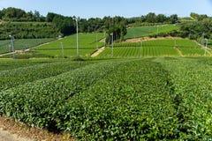 Campo del tè verde Fotografie Stock