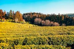 Campo del tè verde di Boseong Fotografie Stock Libere da Diritti