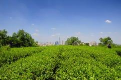Campo del tè verde di Shaoxing Cina fotografia stock libera da diritti