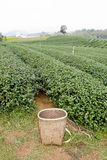 Campo del tè verde e foglie di tè verdi raccolte basketfor Immagine Stock