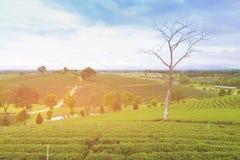 Campo del tè verde sopra l'alta collina della montagna Fotografia Stock
