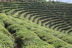 Campo del té Fotografía de archivo