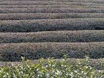 Campo del té en el invierno 1 imagen de archivo