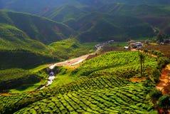Campo del té en Malasia Foto de archivo libre de regalías
