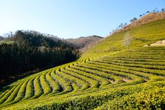 Campo del té verde de Boseong en Corea foto de archivo