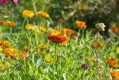 Campo del tagete di POT (officinalis del Calendula) Immagini Stock Libere da Diritti