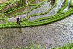 Campo del terrazzo del riso, Ubud, Bali, Indonesia Immagini Stock