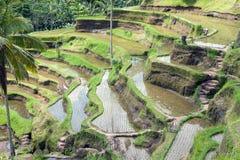 Campo del terrazzo del riso, Ubud, Bali, Indonesia Fotografie Stock Libere da Diritti