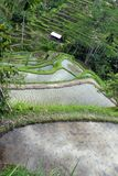 Campo del terrazzo del riso, Ubud, Bali, Indonesia Immagine Stock