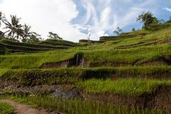 Campo del terrazzo del riso, Ubud, Bali, Indonesia Immagine Stock Libera da Diritti