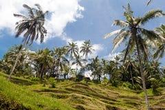 Campo del terrazzo del riso, Ubud, Bali, Indonesia Fotografia Stock