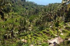 Campo del terrazzo del riso, Ubud, Bali, Indonesia Fotografie Stock