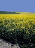 Campo del terreno coltivabile del colza oleifero Fotografie Stock Libere da Diritti