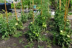 Campo del tomate con postes foto de archivo libre de regalías