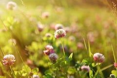 Campo del trifoglio con i fiori Fotografie Stock Libere da Diritti