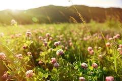 Campo del trifoglio con i fiori Fotografia Stock