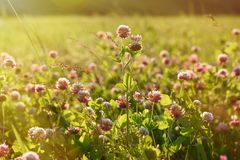 Campo del trifoglio con i fiori Immagini Stock