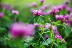 Campo del trifoglio di fioritura di estate fresca Fotografia Stock