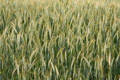Campo del trigo Foto de archivo