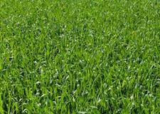 Campo del trigo imagen de archivo