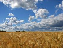 Campo del trigo. Foto de archivo libre de regalías