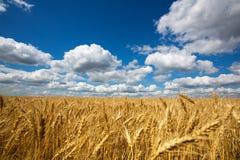 Campo del trigo Foto de archivo libre de regalías