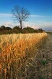 Campo del trigo Fotografía de archivo libre de regalías