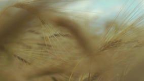 Campo del trigo almacen de metraje de vídeo