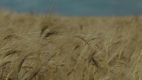Campo del trigo almacen de video