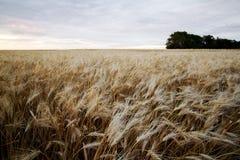 Campo del trigo Imagen de archivo libre de regalías