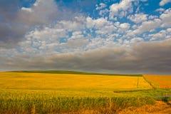 Campo del trigo amarillo maduro Imagen de archivo libre de regalías