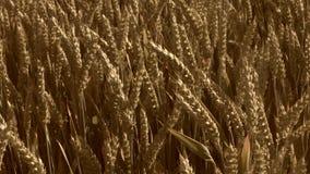 Campo del trigo, cierre para arriba metrajes