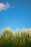 Campo del trigo con el cielo azul Imagenes de archivo