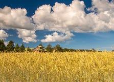 Campo del trigo de oro bajo el cielo azul Imágenes de archivo libres de regalías