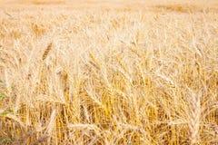 Campo del trigo de oro listo para la cosecha fotos de archivo
