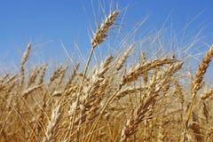 Campo del trigo del oro Fotografía de archivo
