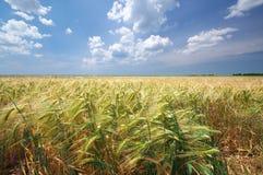 Campo del trigo duro debajo del cielo azul Imágenes de archivo libres de regalías
