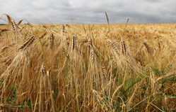 Campo del trigo en campo Fotografía de archivo