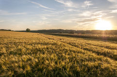Campo del trigo en el cielo de la puesta del sol Foto de archivo libre de regalías