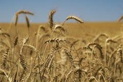 Campo del trigo en el sol Imagen de archivo libre de regalías