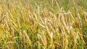 Campo del trigo en el viento almacen de video