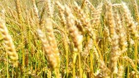 Campo del trigo en el viento almacen de metraje de vídeo
