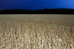 Campo del trigo en la noche Imagen de archivo libre de regalías
