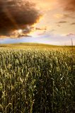 Campo del trigo en la puesta del sol Imagen de archivo libre de regalías