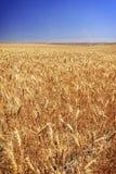 Campo del trigo en una granja del grano en Washington State central del sur Fotografía de archivo