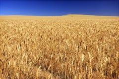 Campo del trigo en una granja del grano en Washington State central del sur Foto de archivo