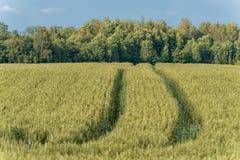 Campo del trigo en zona rural lituania Imagenes de archivo