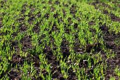 Campo del trigo joven Foto de archivo libre de regalías