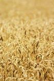 Campo del trigo maduro Foto de archivo libre de regalías